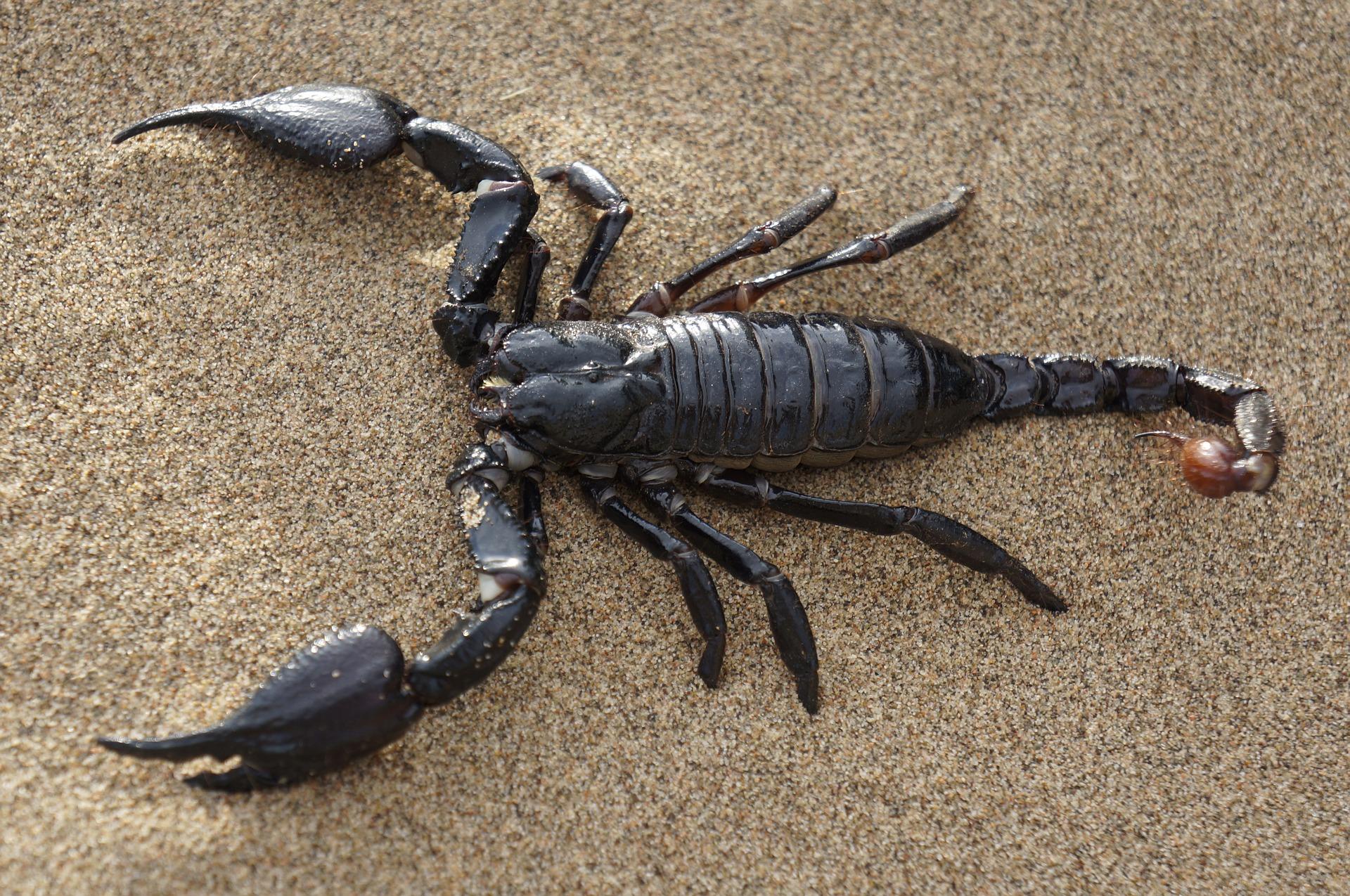 scorpion-651142_1920.jpg